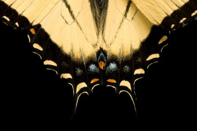 Photo: A male tiger swallowtail butterfly, Papilio glaucas.