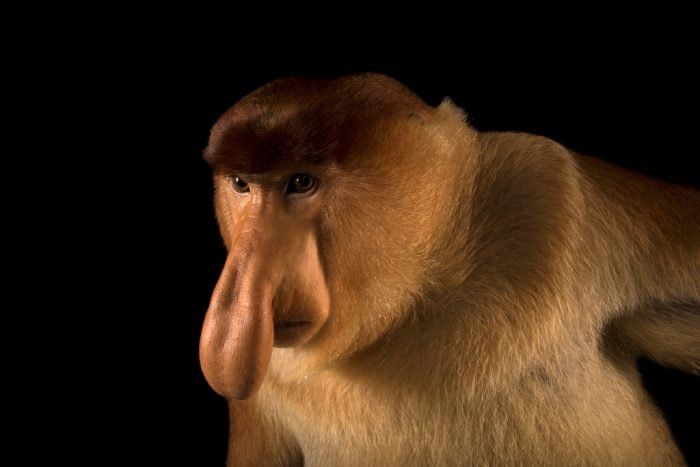A proboscis monkey at the Singapore Zoo has become the 6000th species to come on board the National Geographic Photo Ark! Males of this species may use that huge nose to attract females and to amplify alarm calls as well.