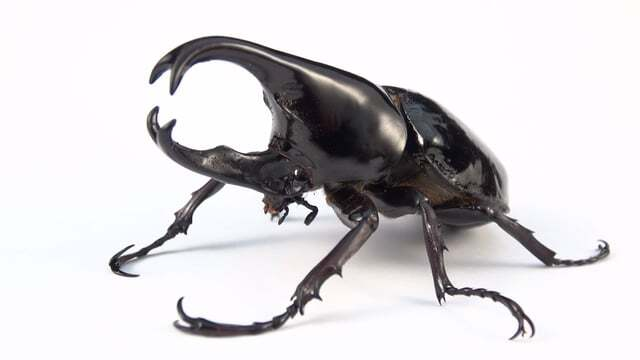 a brown rhinoceros beetle or fighting beetle xylotrupes gideon