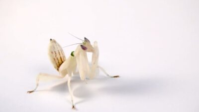 A female pink orchid mantis (Hymenopus coronatus)
