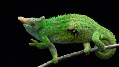 An endangered West Usambara two-horned chameleon (Kinyongia multituberculata) at the Houston Zoo.