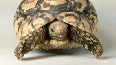 A leopard tortoise (Geochelone pardalis) at the Lincoln Children's Zoo.