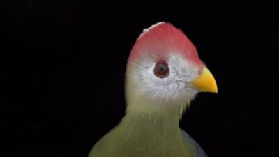 A red-crested turaco (Tauraco erythrolophus)