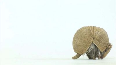 A southern three-banded armadillo (Tolypeutes matacus)
