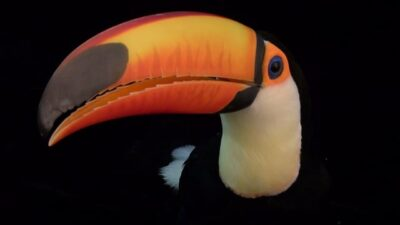 A toco toucan (Ramphastos toco) from the Omaha Zoo.