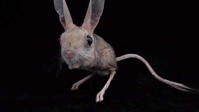 a vulnerable four toed jerboa allactaga tetradactyla joel sartore