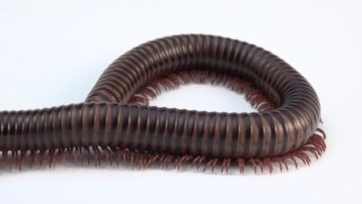 Asian Millipede (Thyropygus pachyurus)