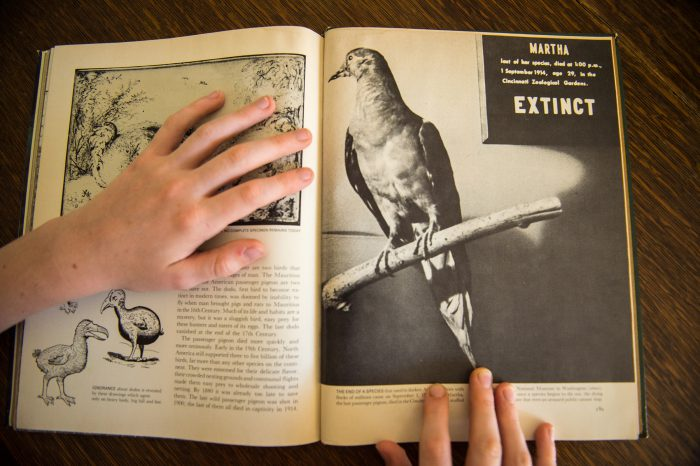 Gone, but not forgotten . . . the extinct passenger pigeon may be making a comeback.