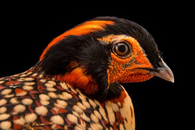 Photo: Cabot's tragopan (Tragopan caboti) at the St. Augustine Alligator Farm.