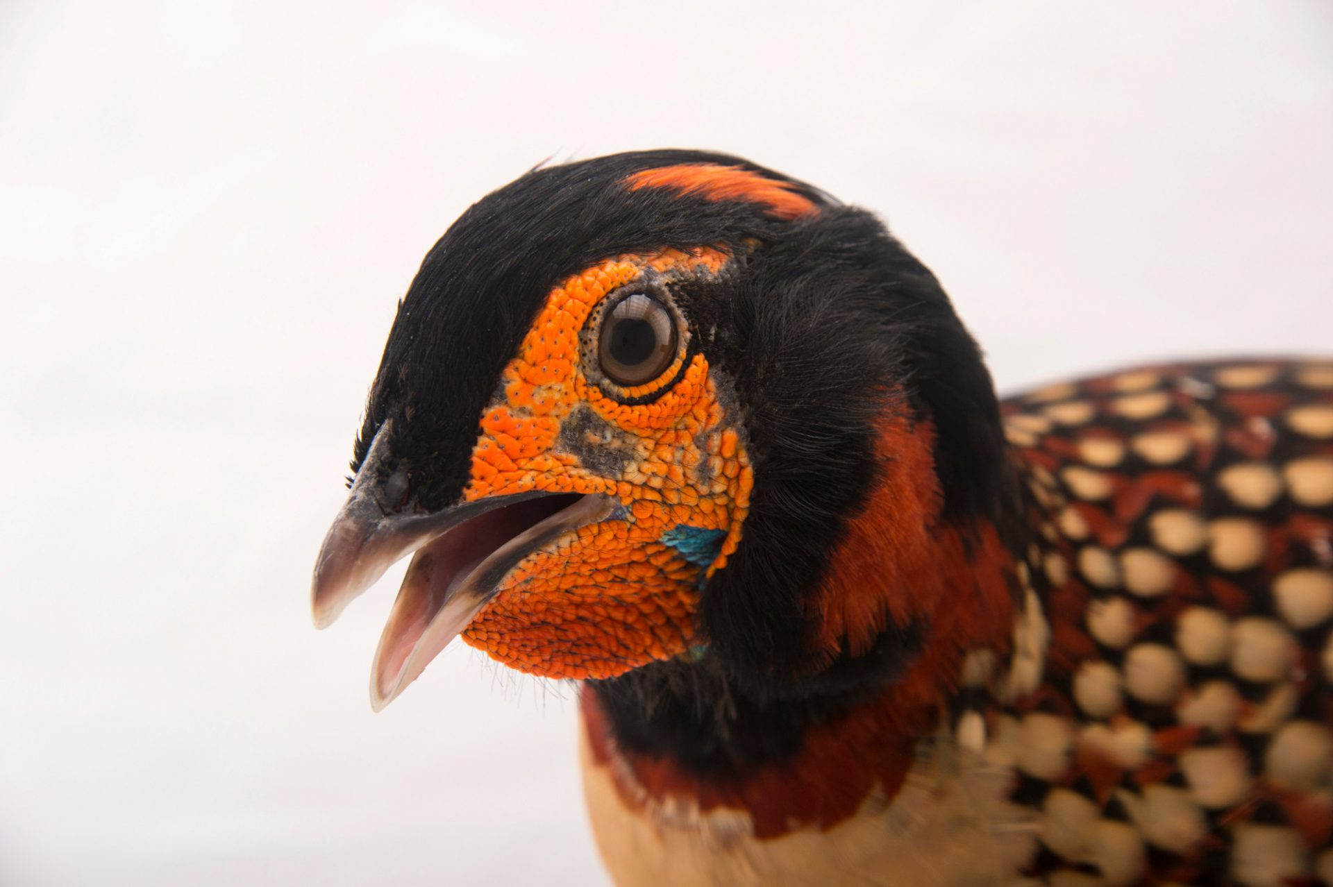 Photo: Cabot's tragopan (Tragopan caboti) at the St. Augustine Alligator Farm Zoological Park in St. Augustine, Florida.