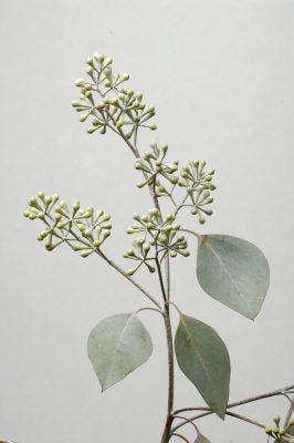 Photo: A Seeded eucalyptus (Eucalyptus polyanthemos).