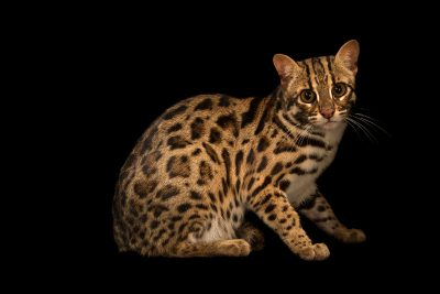 Photo: Asian leopard cat (Prionailurus bengalensis bengalensis) at the Angkor Centre for Conservation of Biodiversity (ACCB) in Siem Reap, Cambodia.