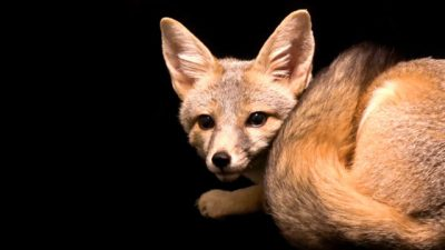 An Arizona Kit Fox (Vulpes macrotis arizonensis) at Southwest Wildlife
