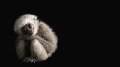 A baby silvery gibbon (Hylobates moloch) at Bali Safari, Indonesia