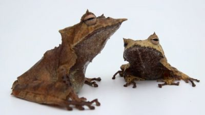 A pair of Banded Horned Treefrogs (Hemiphractus fasciatus) from El Valle Amphibian Conservation Center (EVACC).