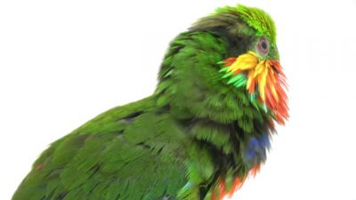 An Edwards's fig-parrot (Psittaculirostris edwardsii) at Loro Parque