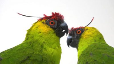 A pair of horned parakeets (Eunymphicus cornutus) at Loro Parque