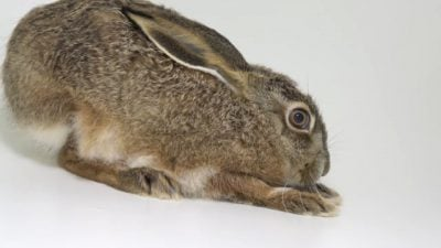 An Iberian hare (Lepus granatensis granatensis) at the Center for Biodiversity and Genetic Resources (CIBIO)