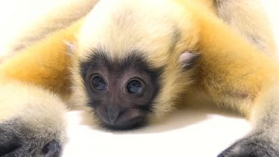 A juvenile Northern white cheeked gibbon (Nomascus leucogenys) at the Omaha Zoo