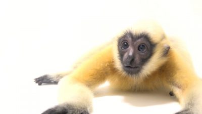 A critically endangered, juvenile Northern white-cheeked gibbon (Nomascus leucogenys) at the Omaha Zoo