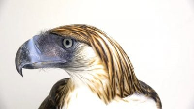 A Philippine eagle (Pithecophaga jefferyi) at the Philippine Eagle Center, Philippines