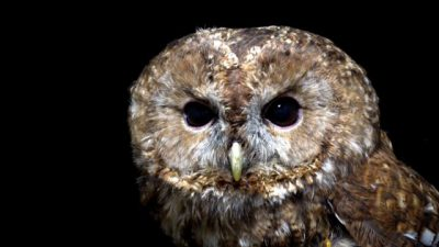 A tawny owl (Strix aluco sylviatica) at the Wildlife Rescue Center of Rome