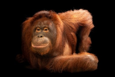 Photo: A central Bornean orangutan named Trixie (Pongo pygmaeus wurmbii) at the Avilon Wildlife Conservation Foundation.
