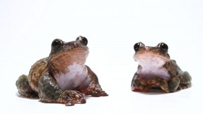 A pair of San Martin Fringe-limbed Tree frogs (Ecnomiohyla valancifer) at the Amphibian Foundation in Atlanta Georgia.
