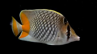 A pearlscale butterflyfish (Chaetodon xanthurus) at The Fish Store in Lincoln, Nebraska.