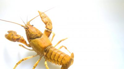 Robust crayfish (Cambarus robustus) from the wild.