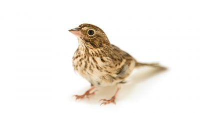 A vesper sparrow (Pooecetes gramineus) at Iowa Bird Rehabilitation.