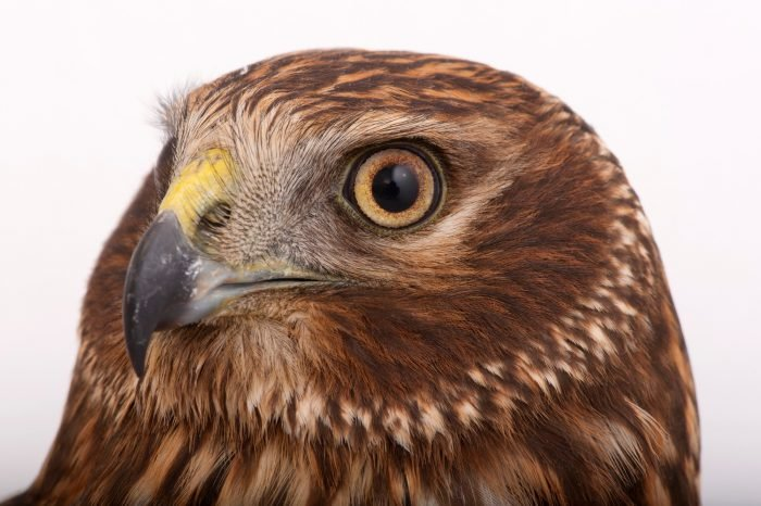 Photo: A Northern harrier (Circus cyaneus) from the Raptor Recovery Center.