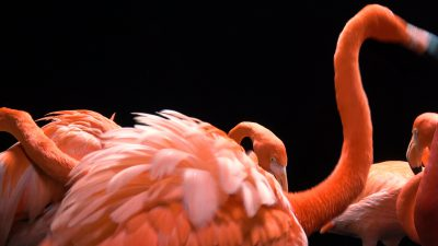 American flamingos (Phoenicopterus ruber) at the Lincoln Children's Zoo.