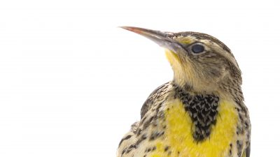 A western meadowlark (Sturnella neglecta) at Milford Nature Center.