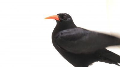 A red-billed chough (Pyrrhocorax pyrrhocorax) at Parque Biologico.