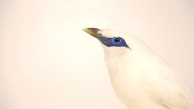 A critically endangered male Bali myna (Leucopsar rothschildi) at Lisbon Zoo.