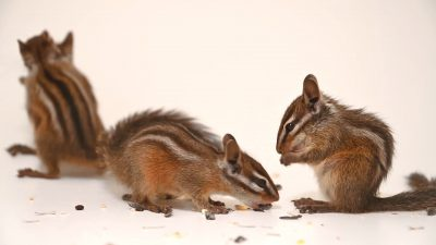 Four Merriam's chipmunks (Neotamias merriami) at Santa Barbara Wildlife.