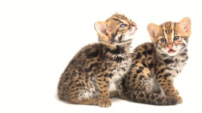 A pair of four-week-old Asian leopard cats (Prionailurus bengalensis bengalensis) at the Angkor Centre for Conservation of Biodiversity (ACCB), a wildlife rehab center in Siem Reap, Cambodia.