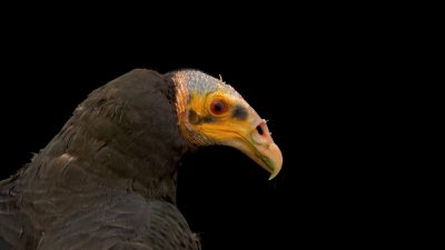 A lesser yellow-headed vulture (Cathartes burrovianus) at Tierpark Berlin.