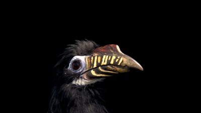 An endangered, female Visayan tarictic hornbill (Penelopides panini panini) at Negros Forest Park in the Philippines.