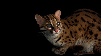 Visayan leopard cat (Prionailurus bengalensis rabori) at the Avilon Zoo. This species is listed as vulnerable on the IUCN red list.