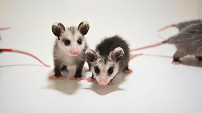 Juvenile Virginia opossums (Didelphis virginiana virginiana) at the WildCare Foundation in Noble, Oklahoma.
