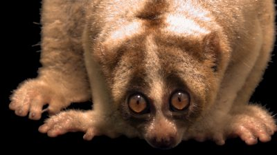 A Javan slow loris (Nycticebus javanicus) at the Jarkarta Natural Resource Conservation Center in Indonesia.