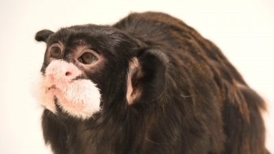 A moustached tamarin (Saguinus mystax) at the Prague Zoo.