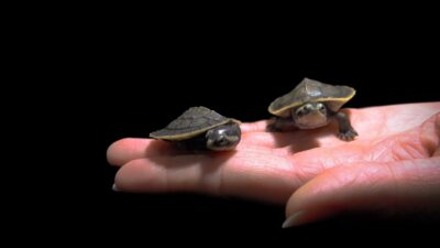Two yellow-faced turtles (Emydura tanybaraga) at the Oklahoma City Zoo. These turtles are just two months old.