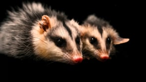A pair of sister, six-month-old Andean white-eared opossums (Didelphis pernigra) at the Quito Zoo in Quito, Ecuador.