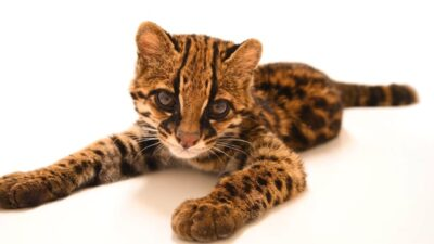 A juvenile margay named 'Diego' (Leopardus wiedii pirrensis) at the Quito Zoo in Quito, Ecuador.