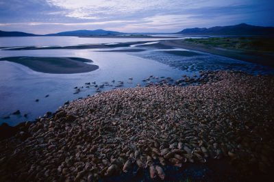 Photo: Thousands of bull walrus crowd the beach at Togiak NWR in Alaska.