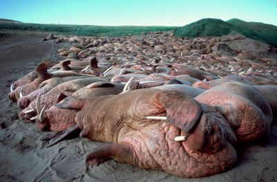 Photo: Overview of thousands of bull walrus crowding the beach at the Togiak National Wildlife Refuge in Alaska.