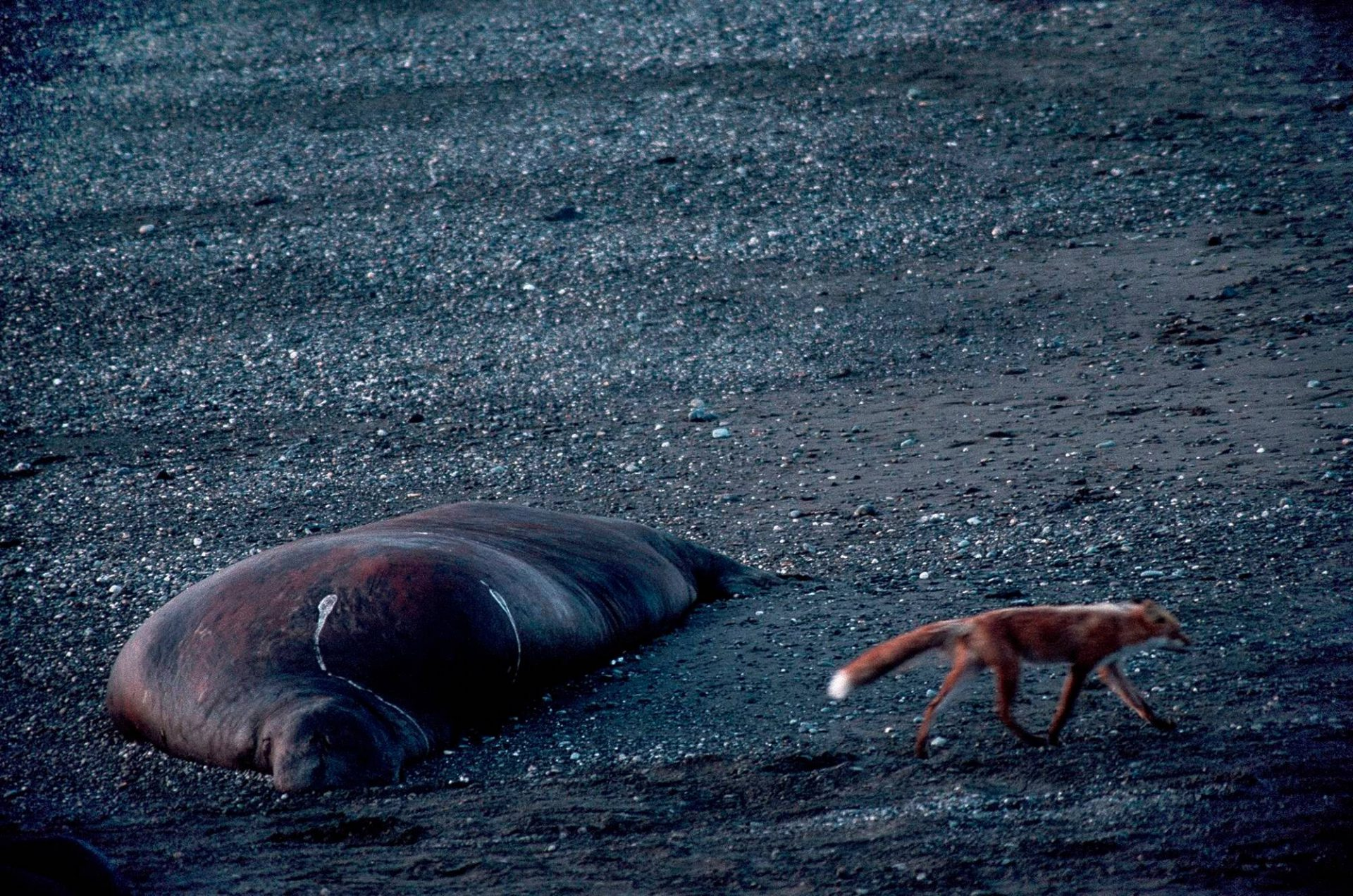 Photo: Thousands of bull walrus congregate each year at Togiak NWR in Alaska.